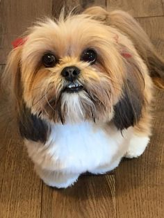 What beautiful colouring on this Lhasa Apso