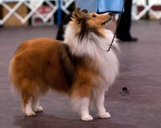 https://flic.kr/p/cXGUWb | Sheltie | Winning show dog - photo by Sandy Revard