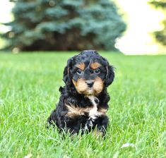 Poodle Mix Puppies, Mini Goldendoodle Puppies, Lancaster Puppies, Puppies For Sale, Dog Breeds, Play, Sweet, Dogs, Animals