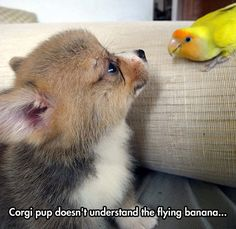 Corgi pup doesn't understand...