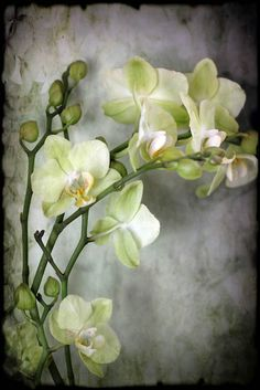 Orchid still life nature photography Spring by judeMcConkeyPhotos, $35.00