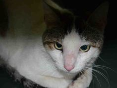 """BAM BAM - A1039636 - - Brooklyn  ***TO BE DESTROYED 06/17/15*** SHY, SCARED YOUNG TABBY BOY, A LOST PET, IS PERFECTLY HEALTHY, BUT WILL DIE DUE TO HIS FEAR – PLEASE GRANT BAM BAM A DEATH ROW PARDON!!! Handsome two-year-old gray tabby and white boy BAM BAM arrived at the ACC's Death Camp for Kitties as a supposed """"STRAY"""", but Bam Bam had perfectly clean fur, was FREE of fleas and ear mites, and weighed a healthy 9 pounds, so it's obvious he&#821"""
