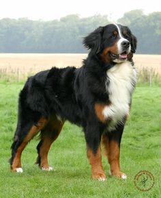Such an awesome breed. Wish I could have another Bernese Mountain Dog.