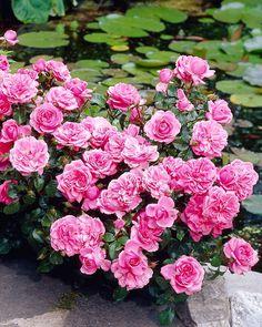Säihkyvää kauneutta koko kesäksi. Plants, Garden, Cottage Garden, Love Flowers, Rose, Flowers, Large Flowers