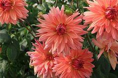 Georgíny: Kvety mnohých podôb - Záhradný magazín.sk Plants, Compost, Plant, Planets