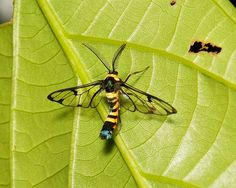 Arctiid Wasp Moth (Arctiinae, Erebidae) | Flickr - Photo Sharing!