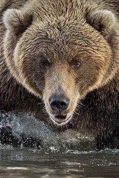 Bear photograph #bear #animal #nature #wildlife #fineartphotography