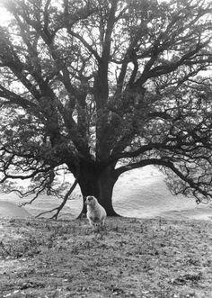 Scotland Borders, sheep and tree