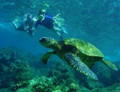 Snorkelers with Hawaiian Green Sea Turtle and Tiny Bubbles Scuba in Maui