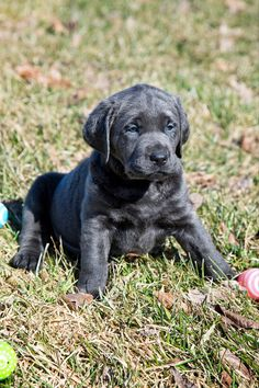 Silver Feather's Labradors is a small breeder of AKC Silver, Charcoal, Fox Red and White Labrador Puppies. Perro Labrador Retriever, Silver Labrador Retriever, Labrador Breed, Labrador Puppies, Corgi Puppies, Retriever Dog, Charcoal Lab Puppies, White Lab Puppies, Silver Lab Puppies