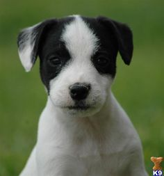 Top Quality Jack Russell Terrier Puppy- Son of TWO Champions