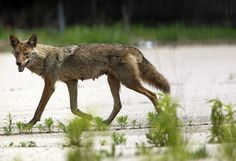 Coyotes finding new home in downtown Chicago -  Coyotes are very adaptable, and some of the population has been pushed out of the suburbs, their natural coice with wooded cover, into the city.  This article describes with photos coyote monitoring.  Very interesting how city coyotes adapt to people and traffic.  Coyotes usually try to avoid human contact.  http://www.chicagotribune.com/news/ct-downtown-coyotes-met-0117-20150116-story.html