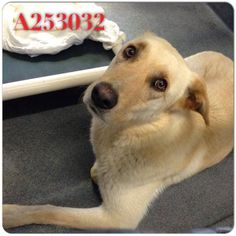 253032 Phantom  San Antonio, TX *Urgent! At Risk of Euthanasia! **PAST DEADLINE! above or the Pet Can be Euthanized directly) To adopt, foster, or rescue, please email: placement@sanantoniopetsalive.org  253032 Phantom is a handsome guy with a great coat. He's a bit bashful at first but warms right up and is very gentle and sweet. He just wants to feel safe in your arms.
