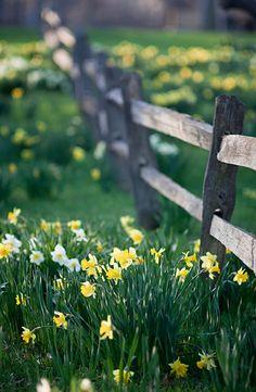 daffodils & fence