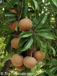 Achras (manilkara) zapota - Sapodilla Brown Sugar, Grafted  Click to see full-size image
