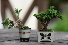 Bonsai trees and plants are basically trees and plants that are pruned and trimmed to keep their size minimal. Buy Bonsai Tree, Indoor Bonsai Tree, Bonsai Trees, Terraria Tips, Minis, Mame Bonsai, Miniature Trees, Bonsai Garden, Growing Tree