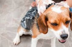 #buydogshampoos from +Awesomebazar.com . just click and select  then buy dog shampoo easily.  https://awesomebazar.com/pet-care/grooming/shampoo.html