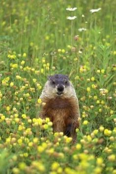 How To Get Rid Of Groundhogs Naturally How To Get To Get And How To Get Rid
