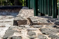 The definition of chill by a Tenerife lizard I could also use some of that sun now. Tenerife, Chill, Sun, Photography, Animals, Photograph, Animales, Animaux, Teneriffe