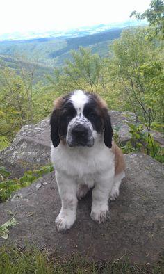 saint bernard in the mountains