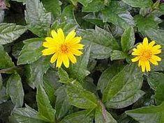 A vedélia é uma margaridinha nativa do litoral brasileiro, muito vistosa e rústica. A ramagem rasteira e ramificada apresenta folhas trilobadas de coloração verde-escura, que acentuam o contr...