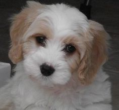 Cavachon at three months - new favorite breed mix!
