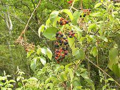 CAPINURIBA PRETA (Rubus sellowii) -  Frutifica nos meses de Setembro a Novembro. Os frutos têm sabor de uva passa e são deliciosos para o consumo in-natura. Os frutos podem ser usados para fabricação de geléias, iogurtes, sucos e sorvetes.