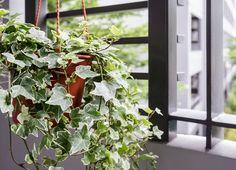 indoor air quality Indoor Plants That Improve Air Quality Grow Them Easily 20 Zimmerpflanzen die die Luftqualität verbessern die ultimative Liste IndoorGartenecke Ivy Plants, Large Plants, Cool Plants, Potted Plants, Indoor Plants, Potted Flowers, Perfect Plants, Green Plants, Best Plants For Bedroom