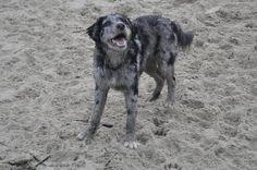 Oker 6 meses. Rare Dogs, Rare Dog Breeds, Rough Collie, Sheltie, Hunting, Horses, Animals, Lion, Pastor