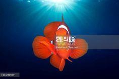 Spinecheek Clownfish, Premnas aculeatus, Florida Islands, Solomon Islands. © Reinhard Dirscherl / age fotostock - Stock Photos, Videos and Vectors