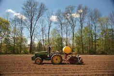 Planting garlic at Taliaferro Farm in New Paltz.    photo: Roy Gumpel
