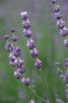 Lavender by SummerSnowflake, via Flickr