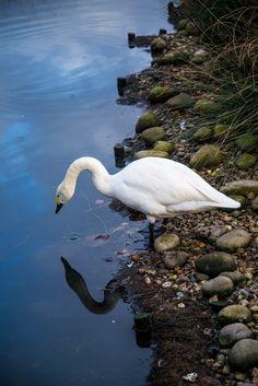 Visiter #Londres avec le #LondonPass : #cygne au #Wetland Centre