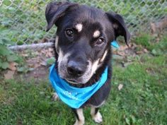 ~TO BE DESTROYED 8/4/14~ Manhattan Center -P My name is SCRAPPY. My Animal ID # is A1007726. I am a neutered male black and white rottweiler and great pyrenees mix. The shelter thinks I am about 4 YEARS old. I came in the shelter as a RETURN on 08/01/2014 from NY 11385, owner surrender reason stated was LLORDPRIVA.