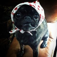 pugsofinstagram: Izzie is a brindle pug who knows a thing or two about scarves. Please follow @brindlebeast