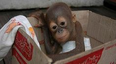 Help Orangutans - REMOVE PALM OIL FROM YOUR PRODUCTS ! Pleas... - Care2 News Network