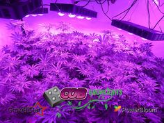 @cobgrowlights Dr. D showing us how quickly his babies have grown.  We've been noticing significant energy savings cooler grow temps better spectrums and very healthy plants with GrowthStar COB grow lights at half the cost of competing LEDs. If it works why knock it?  #cobgrowlight  #growlight  #ledgrowlight  #marijuana  #marijuanamovement  #marijuanaphotosubmission  #marijuanagram  #ganja  #cannabis  #cannabiscommunity  #cannabisculture  #cannabiscup  #cannabisdestiny  #cannabisdaily…
