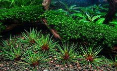 Eriocaulon Australia Red