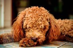 Poodle, Groom, Toy, Coats, Animals, Wraps, Animales, Animaux, Grooms