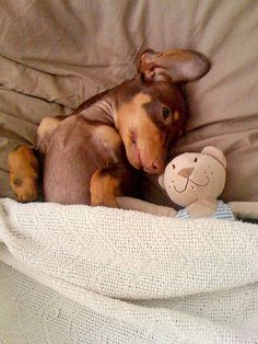 .doxie bedtime