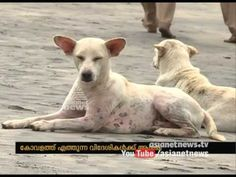 Stray dog  menace affects Kerala Tourism sector | Asianet News Investigation - YouTube