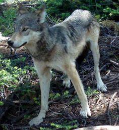 Cascade Mountains Wolf | Extinct -Cascade Mountain Wolf( Canis lupus fuscus )