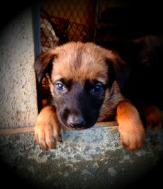 Belgian Malinois puppy at 4 week old. At Wolfsbane K9 we sell working line Belgain Malinois puppies and adults.