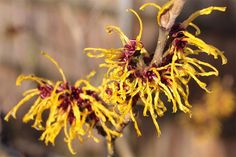 Wonderful Witch Hazel - Reasons This Herbal Remedy Should Be In Every Home I recently wrote an article outlining some of the best herbal remedies you Witch Hazel Uses, Witch Hazel For Skin, Dry Skin Remedies, Herbal Remedies, Natural Remedies, Listerine, Poison Ivy, Witch Hazel Hemorrhoids, Aloe Vera