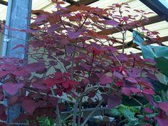 Euphorbia cotinifolia / Euphorbia cotinifolia caribbean copper plant ever green broadleaf