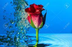 4560050-Una-rosa-roja-bajo-el-agua-con-burbujas-Foto-de-archivo.jpg (1300×863)