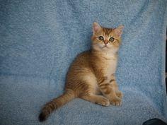 Litter D, Kitty Darwin , male, D.o.b. 16 June 2015 - Irina Sopran - Picasa Web Albums