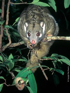 Green Ringtail Possum is a species of ringtail possum found only in northern Australia. This makes it unique in its genus, all other members of which are found in New Guinea or nearby islands. The green ringtail possum is found in a tiny area of northeastern Queensland, between Paluma and Mount Windsor Tableland
