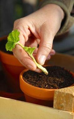 Geranien durch Stecklinge vermehren -    Viele unserer Topfgäste lassen sich einfach aus Stecklingen ziehen, andere kann man gut teilen – so erhält man neue blühfreudige Pflanzen und gewinnt gleichzeitig Platz für die Überwinterung. In diesem Artikel zeigen wir Ihnen, wie sie Geranien durch Stecklinge vermehren können.