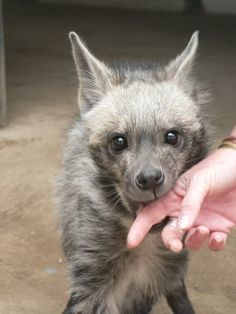 Things that make you go AWW! A place for really cute pictures and videos! Baby Platypus, Brown Hyena, Striped Hyena, Big Animals, Strange Animals, African Wild Dog, Baby Hippo, Weird Creatures, Wild Dogs